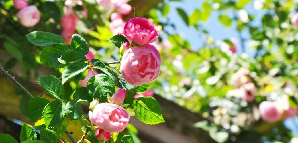 Mainau-Rosenkönigin 2018 'Raubritter' im Italienischen Rosengarten der Insel Mainau, © Insel Mainau / Verena Kopatsch